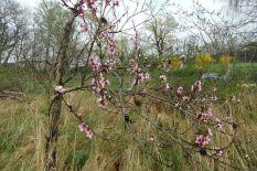 Weitere Pfirsichblüten am 15.04.2016
