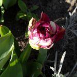 Lila weiße Tulpenblüte