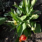 Weitere Tulpenblüten