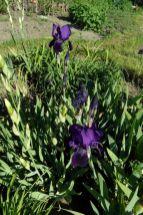 """Lila blühende Schwertlilien im Beet """"Iris"""" am 22.05.2016"""