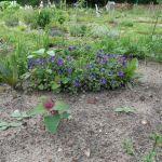 Baumspinat, Blaukissen und Bluampfer