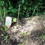 """Zucchinipflanze der Nachzügle, auf dem Beet """"Kurt"""" in Richtung Norden"""