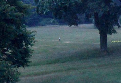 Und noch einmal Storch auf der Wiese am frühen Montag