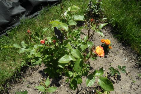 "Verschiedene Rosenblüten im Beet ""Sylvia "" am 11.06.2017"