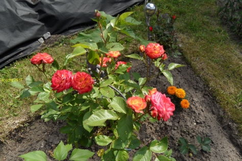 "Rosenblütenvielfalt im Beet ""Sylvia"" am 18.06.2017"