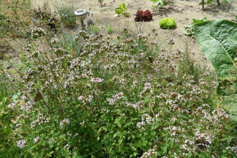 Brauner Walldvogel und Majoranblüten