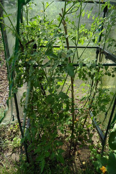 Mehrere Tomatensorten im Kleingewächshaus