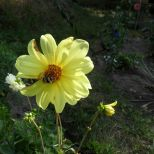 Gelbe Dahlie und Hummel 3
