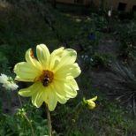 Gelbe Dahlie und Hummel
