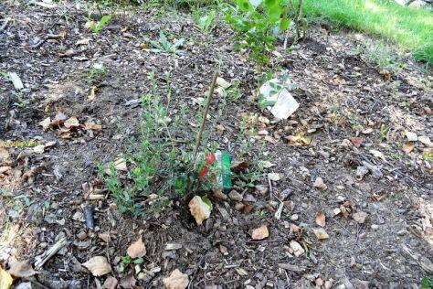 """Eine der Cranberries im Beet """"Mix"""" am 30.07.2017"""