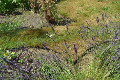 Schwalbenschwanz am Lavendel 2