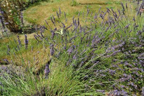 Schwalbenschwanz am Lavendel 4