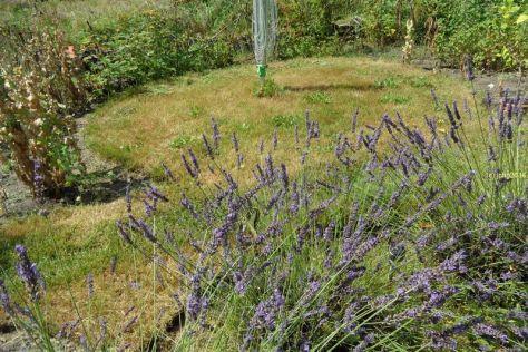 Schwalbenschwanz am Lavendel 5