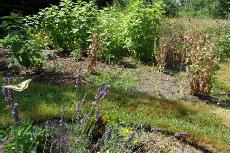 Schwalbenschwanz am Lavendel 7