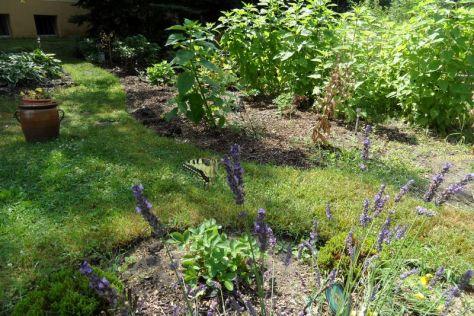 Schwalbenschwanz am Lavendel 10