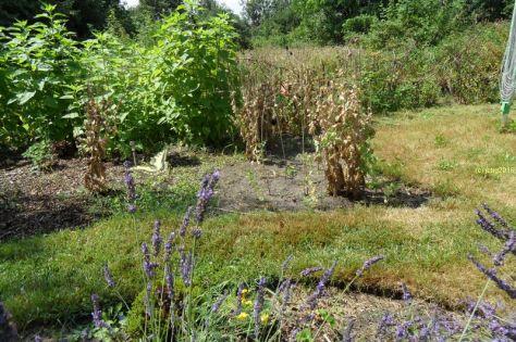 Schwalbenschwanz am Lavendel 14