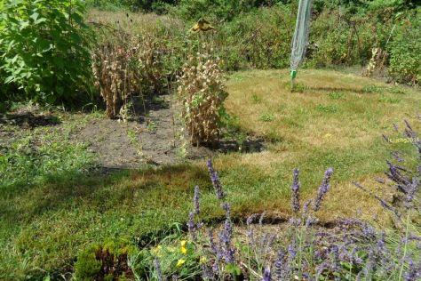 Schwalbenschwanz am Lavendel 16