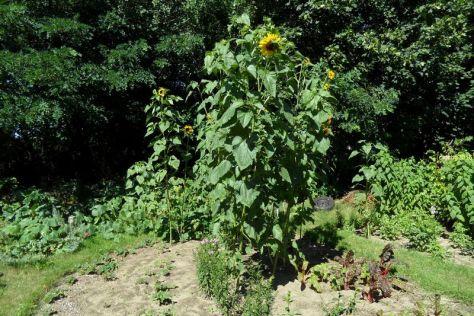 """Sonnenblumen im Beet """"Mangold"""""""