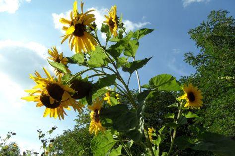 Sonnenblumen zum Herbstanfang