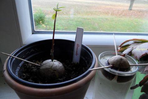 Avocadobaum und weiterer Kern am 06.11.2016