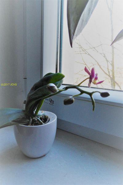 Erste neue Blüte an der kleinen Orchidee am 29.01.2017