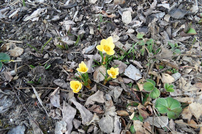 Krokusse und Erdbeerpflanzen am 04.03.2017