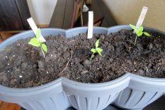 """Die drei Chilipflanzen """"Fatalii White"""" am 12.03.2017"""