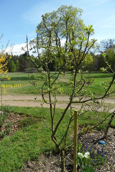 Apfelbaum der schon in Dallgow und Falkensee war am 16.04.2017