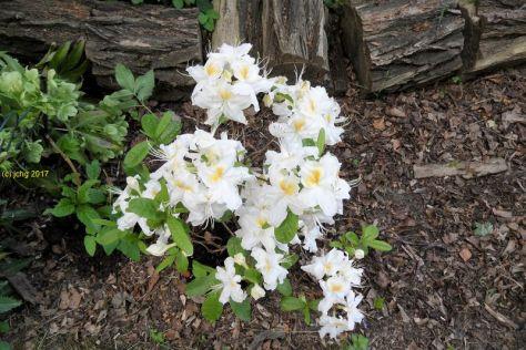 Azaleen-Blüten am 25.05.2017