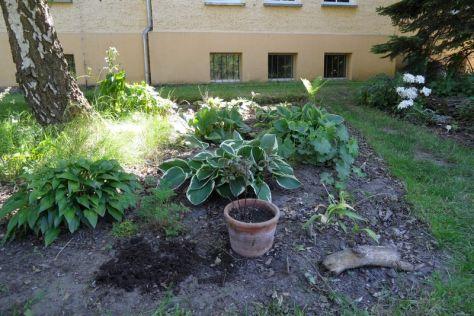 Bärlauch, Fuchsien, Funkien im Beet Birke am 27.05.2017