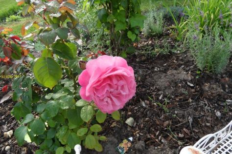 "Rosenblüte im Beet ""Iris"" am ß5.08.2017"