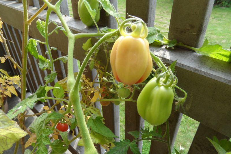 Tomatenfarben am 26.08.2017