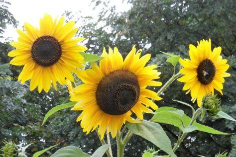 Sonnenblumen und Hummel nach dem Regen am 24.09.2017