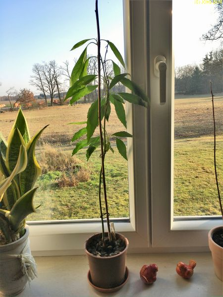 Bogenhanf (Sanseveria) und beide Avocados am 14.01.2018