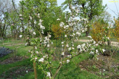 Apfelbaum fängt an zu blühen 22.04.2018