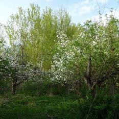 Wildgarten blühende Apfelbäume 27.04.2018
