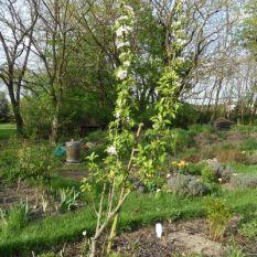"""Blühender Apfelbaum im Beet """"Boskop"""" 27.04.2018"""