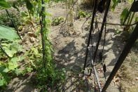 Minigurkenpflanze am 28.07.2018