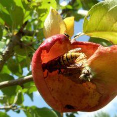 Eine Hornisse in einem Apfel zum Zweiten am 19.08.2018