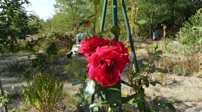"Rose im Beet ""Christian"" am 16.09.2018"