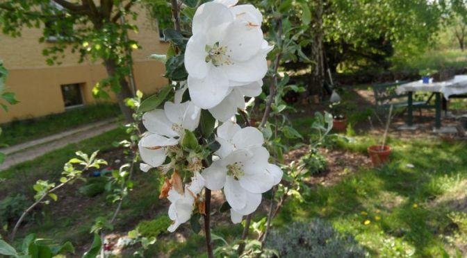 Letzte Apfelblüten