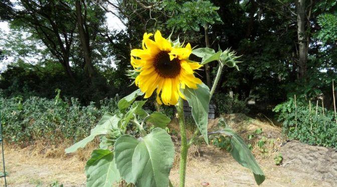 Die Erste Sonnenblume blüht und Regen gab es Auch