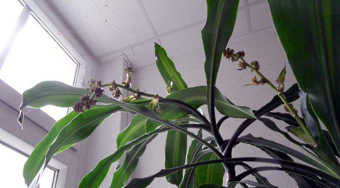 Der Drachenbaum (Dracaena fragrans) blüht