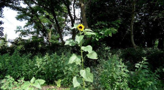 Erste Sonnenblume blüht in diesem Jahr