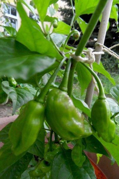 Chilis August 2014