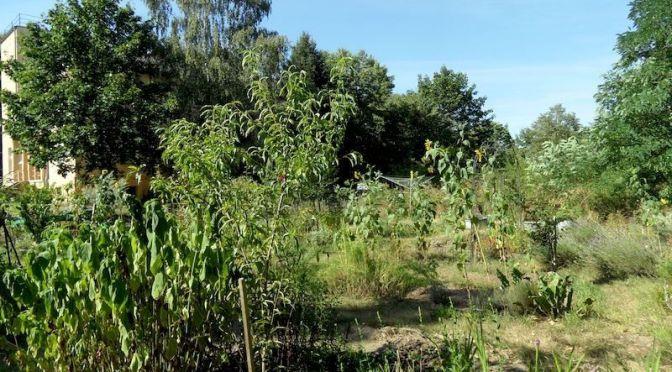 "Topinambur, Pfirsichbaum Beet ""Mangold"" 20.8.20"