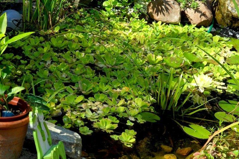 Der Teich in unserem Garten in Finkenkrug September 2011 Bild 1