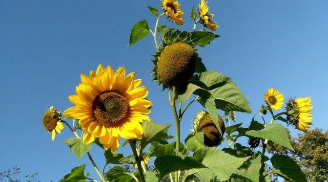 Weitere Sonnenblumen 27.9.14