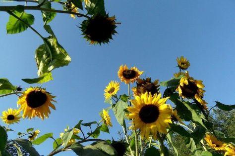 Sonnenblumen 27.9.14