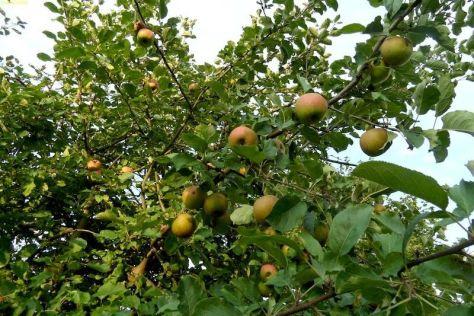 """Viele Äpfel am Apfelbaum """"Boskoop"""" auf dem Gelände 37. KW 2015"""